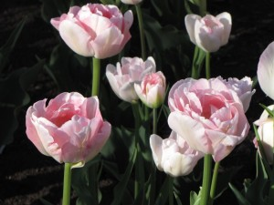 Pink Tulips 2009