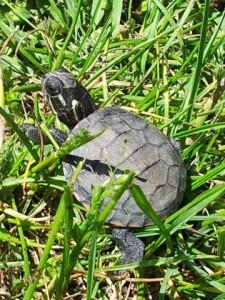 grdn_elg_baby_turtle_2012_sj